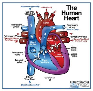 Heart Diagram_Cropped.jpg