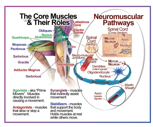 Core Muscles and Neurons_MAIN.jpg