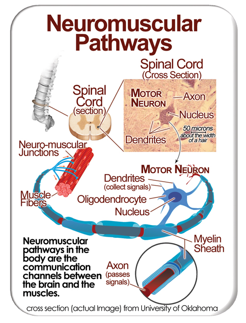 Neromuscular pathways.jpg